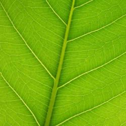 fruit tree leaf identification guide