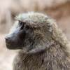 Monkey Math: Baboons Show An Ability To Understand Numbers