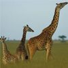Genome Reveals Why Giraffes Have Long Necks