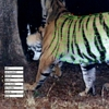 Software Tracks Tigers in 3D