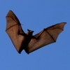Robo-Bats With Metal Muscles May Be Next Generation of Remote Control Flyers
