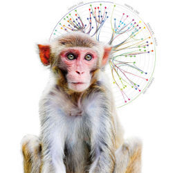 Macaque Monkey and white-matter graph