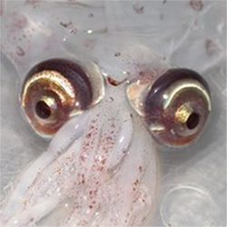 Atlantic cranch squid