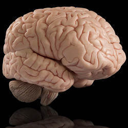A model of the human brain.