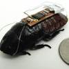 Remotely Controlled Roaches Could Search For Survivors