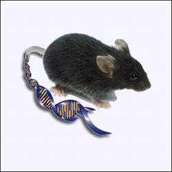 A mouse with some of its genetics showing.