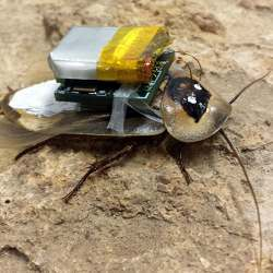 Cockroach robots can gather information from places humans would not want to venture.