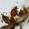 Crosstown Traffic: The Bedbug Genome