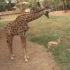 Deep Learning Tells Giraffes From Gazelles in the Serengeti