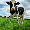Image Analysis and Artificial Intelligence Will Change Dairy Farming