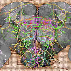 Neurological connections in the brain of a fruit fly.
