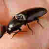 Click Beetles Inspire Design of Self-Righting Robots