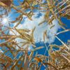 Small Group Scoops International Effort to Sequence Huge Wheat Genome