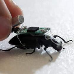 "The ""world's first cyborg insect"": a darkling beetle with a tiny computer on its back."