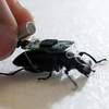 Beetle With Tiny Computer Backpack Is World's Smallest Cyborg Insect