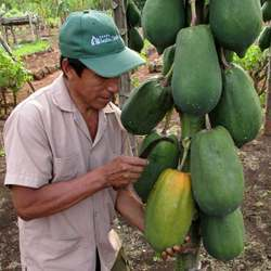 Papayas currently are harvested by hand.