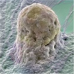Human embryonic stem cell