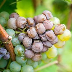 Waxiness on grapes can protect them from fungus.