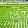 Taiwan's Rice Farmers Use Big Data to Cope With Climate Change
