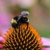 Bees With Backpacks: The Next Army of Data Collectors?