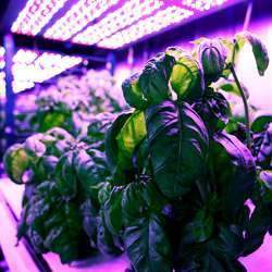 Researchers grew basil in modified shipping containers, to control for environmental factors.