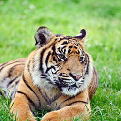 The endangered Sumatran tiger.