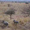 Drones Could Herd Rhinos From Poaching Hotspots