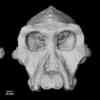 3.8-Million-Year-Old Fossil Cranium Unveils More About Human Ancestry