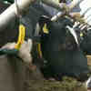 British Farm Moo-ves into New Tech with 5G Collars on Cows