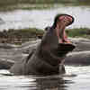 Spying on Hippos with Drones to Help Conservation