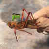 Cyborg Grasshoppers Engineered to Sniff Out Explosives