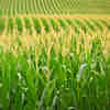 AI Algorithm Better Predicts Corn Yield
