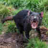 Australian Researchers Tap Cloud to Save the Tasmanian Devil