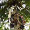 Tree-Climbing Robot Can Safely Harvest Coconuts