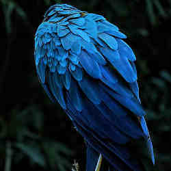 A bird with striking blue plumage.