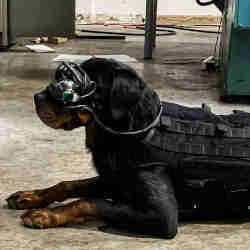 A military dog wearing augmented reality goggles.